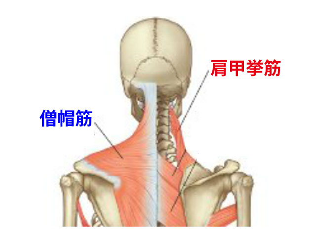 解剖図-僧帽筋と肩甲挙筋