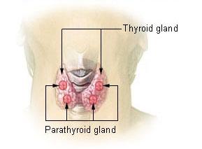 甲状腺の解剖図