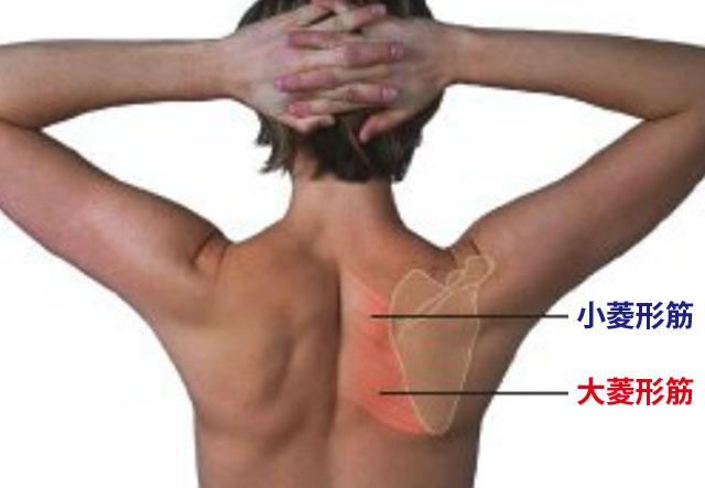 菱形筋の解剖図
