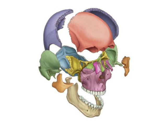 頭蓋の分解図
