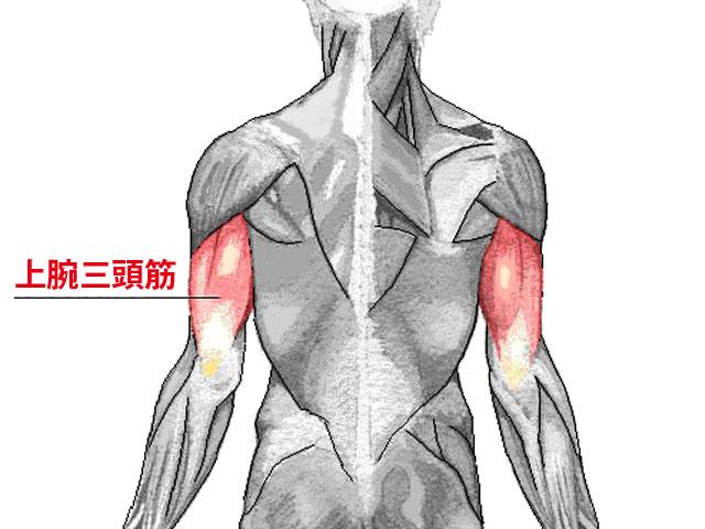 上腕三頭筋の解剖図