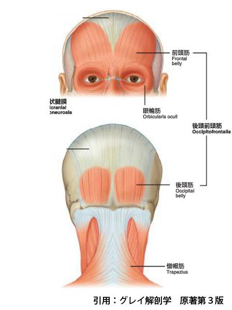 頭部の筋肉