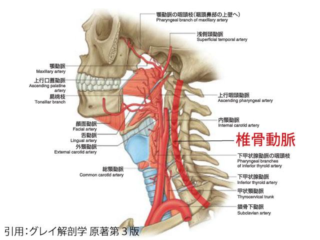 首付近の血管群