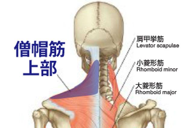 僧帽筋上部の解剖図